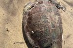 Pizzo, tre tartarughe marina spiaggiate sulla costa napitina