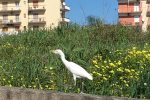 """L""""airone guardabuoi"""" nei cieli di Crotone è un segno di libertà e serenità - FOTO"""