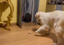 Bonnie e la «danza predatoria» attorno al pane Un tozzo secco abbandonato sul pavimento si può trasformare in una sorta di preda inanimata. Anche per un cane che non ha un forte istinto di cacciatore - Corriere Tv