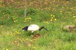 """Un ibis sacro avvistato a Tropea, l'appello del WWF: """"Lasciamolo tranquillo"""""""