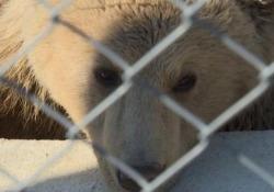 """L'orso salvato dagli abusi esce dal letargo In Kosovo era conosciuto come """"restaurant bear"""" perché prigioniero di un ristoratore - Ansa"""