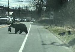 Mamma orsa fatica ad attraversare la strada con i suoi cuccioli: il video dal Connecticut Le immagini riprese lungo una strada degli Stati Uniti commuovono - Dalla Rete