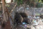 Cinghiali nel giardino dell'asilo comunale, è allarme a Filogaso - VIDEO