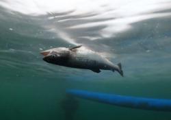 """Milioni di salmoni morti, accatastati in una fossa comune, come in una discarica, per essere sepolti. È questo il volto """"invisibile"""" degli allevamenti di salmone in Scozia, denunciato nei giorni scorsi da due distinte inchieste internazionali. «I dati indicano che tra i 4,4 e gli 8,9 mil..."""