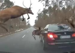 Un branco di cervi, all'improvviso Gli animali hanno attraversato la strada e sono saltati sopra una macchina in corsa: il video dalla Polonia - CorriereTV