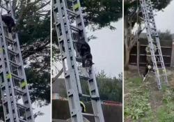 Un gatto intrappolato su un albero si salva scendendo da solo la scala dei pompieri Il felino aveva trascorso 2 giorni sull'albero a sette metri di altezza - CorriereTV