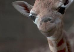 Una baby giraffa nata allo zoo di Chester E' già alta 180 centimetri - LaPresse/AP