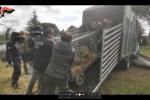 Viterbo, sequestrati dai carabinieri 23 lupi selvatici e ibridi lupo-cane