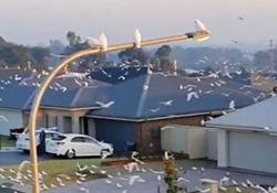 Australia: il sobborgo invaso da migliaia di pappagalli L'«incursione» è stata registrata da un utente di TikTok e il video è diventato virale sui social media - CorriereTV