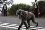 """Sudafrica: ucciso il babbuino """"gangster"""", terrore dei residenti"""