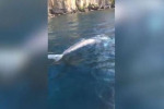 Balena grigia avvistata a Sorrento: «Forse è la stessa vista a Ponza»