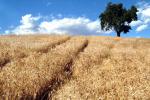 Cdp, Intesa, Mipaaf e La Molisana insieme per contratto filiera grano