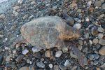 Un esemplare di tartaruga