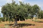 Il Crea completa sequenziamento del genoma dell'olivo