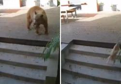 L'orso messo in fuga dai due piccoli cani di casa È successo a Pasadena, in California, il tutto registrato dalle telecamere di sorveglianza che riprendono l'orso che passeggia e s'introduce nella cucina attraverso una porta aperta. - Corriere Tv