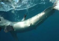 La «vendetta» dello squalo: appena liberato ritorna per attaccare la barca dei ricercatori È successo al largo della costa del North Carolina, negli Usa - CorriereTV