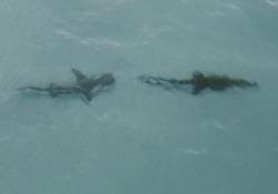 Lo squalo insegue un coccodrillo davanti alle coste in Australia Il filmato catturato da un drone al largo delle Wessel Islands, nel Territorio del Nord - CorriereTV