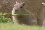 Zoo Berlino: debutto in società per tre cuccioli di capibara