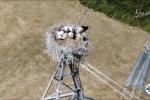 Caserta: riecco le cicogne bianche di Grazzanise, nati cinque piccoli