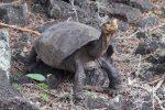 Galapagos, riappare una tartaruga gigante che si credeva estinta da 100 anni