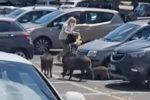 """Branco di cinghiali a Roma """"scippa"""" la spesa a una donna fuori da un supermercato- VIDEO"""