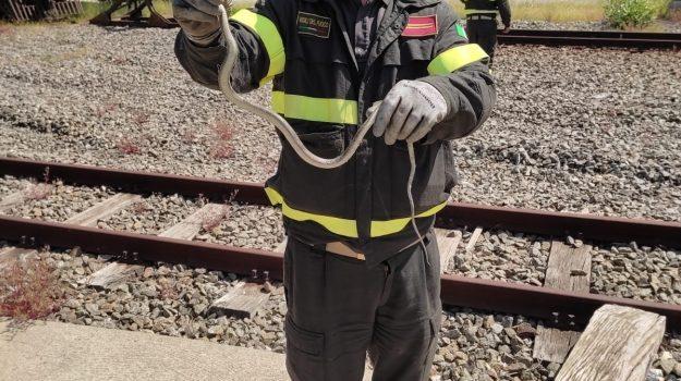 Rettile in un bus delle Ferrovie della Calabria a Cosenza, catturato e liberato dai pompieri