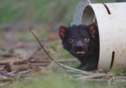 Diavolo della Tasmania, nati cuccioli in Australia dopo tremila anni Sono sette esemplari e sono il frutto di un progetto per reintrodurre la specie nel Paese - LaPresse/AP