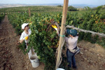 15,5 milioni per ristrutturazione dei vigneti in Toscana