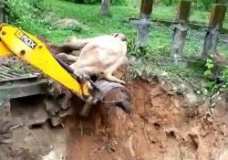 L'elefante finito nel fosso salvato da un escavatore: ecco come ringrazia Un video virale dall'india mostra un escavatore che salva un elefante caduto in un fosso fangoso - Dalla Rete
