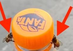 Lavoro di squadra: due api aprono una bottiglietta di aranciata La curiosa clip registrata da una donna di Caraguatatuba, in Brasile - Dalla Rete