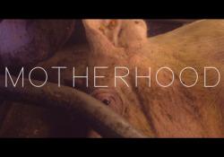Motherhood, il trailer Il film di Eline Helena Schellekens sulla maternità in gabbia negli allevamenti intensivi di maiali. Un'iniziativa di Compassion in World Farming per rilanciare la campagna di End the Cage Age - Corriere Tv