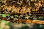 Nel Dna del miele i codici per salvaguardare l'ape italiana