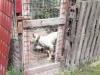 Allevamento lager di pitbull nel Cosentino: denunciato un giovane - VIDEO