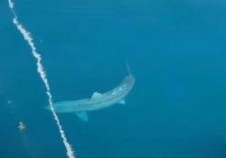 Un enorme squalo intorno alla barca: passeggeri terrorizzati Si tratta di uno squalo elefante, considerato il secondo pesce più grande del mondo: raggiunge i 12 metri di lunghezza e può pesare più di quattro tonnellate - Dalla Rete