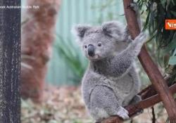 Un koala abbraccia la sua «mamma» umana La custode Hayley ha allevato Elsa sin da quando era piccola - Agenzia Vista/Alexander Jakhnagiev