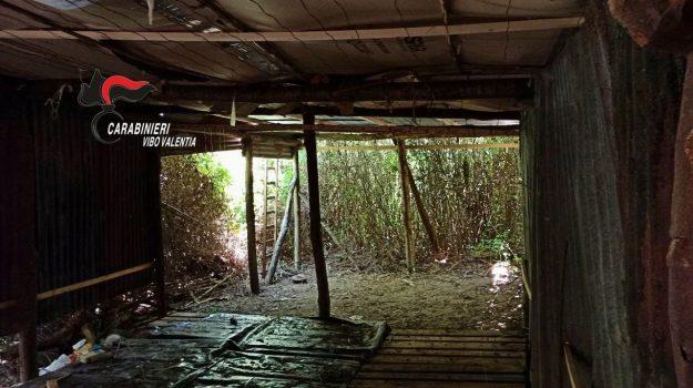 Controlli antidroga nel Vibonese. Scovata piantagione di 2mila piante a Nicotera Marina FOTO   VIDEO