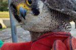 Tour de force del Wwf Calabria: recuperati cinque animali selvatici