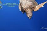 Civitavecchia: liberate in mare 12 tartarughe 'Caretta Caretta'