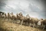 Regioni Ue, l'Ue tuteli la pastorizia sostenibile