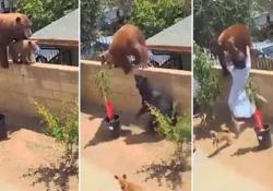 California, teenager affronta un orso per salvare i suoi cani L'animale era entrato con i suoi cuccioli nel giardino di un'abitazione - Ansa