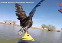 Due aquile stanno annegando nel Danubio, salvate da una coppia in kayak I rapaci erano in difficoltà, poi sono saliti sulla canoa e portati in salvo - Ansa