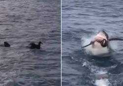 Il momento in cui un grande squalo bianco agguanta e divora un uccello davanti ai turisti È successo vicino alla città di Port Lincoln, nell'Australia Meridionale - Dalla Rete