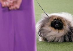 Il vincitore è: «Wasabi», un pechinese di tre anni vince al Westminster Dog Show La 145esima edizione della esposizione canina a New York. L'annuncio del giudice Patricia Craige Trotter domenica sera - Corriere Tv