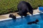 Caldo record in Canada: mamma orsa e due cuccioli si rinfrescano in piscina - VIDEO