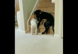 Premuroso: il cane impedisce al bimbo di salire le scale Non c'è dubbio: il cane è il migliore amico dell'uomo, come dimostra questo video - Dalla Rete