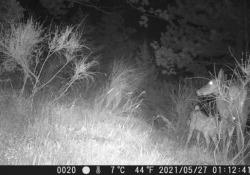 Quando la «trappola» è una macchina fotografica: protagonista una cerva che allatta il suo cerbiatto Le immagini girate presso il Parco Nazionale Foreste Casentinesi nell'Appennino tosco-romagnolo - Corriere Tv