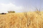 Trebbiatura 2021, meno grano ma di alta qualità