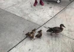 Usa, mamma anatra e i suoi cuccioli per le vie dello shopping di New York Molte persone hanno fermato il traffico per aiutarli ad attraversare in sicurezza la 5th Ave - Ansa