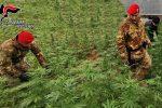 Droga nella Piana di Gioia Tauro: arrestato un 24enne, sequestrata piantagione di marijuana