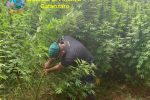Catanzaro, oltre 3000 piante di cannabis sequestrate: proventi da 5 milioni di euro